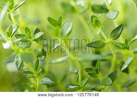 thyme herbs growing in a garden macro