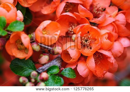 Flowering quince closeup