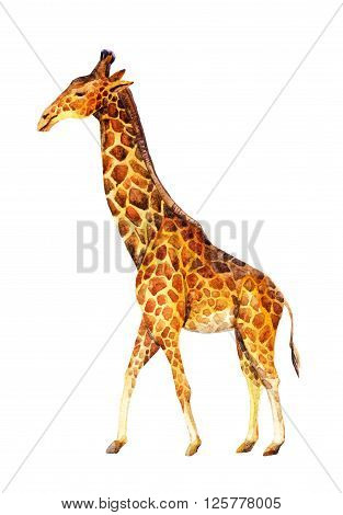 Watercolor giraffe illustration isolated on white background