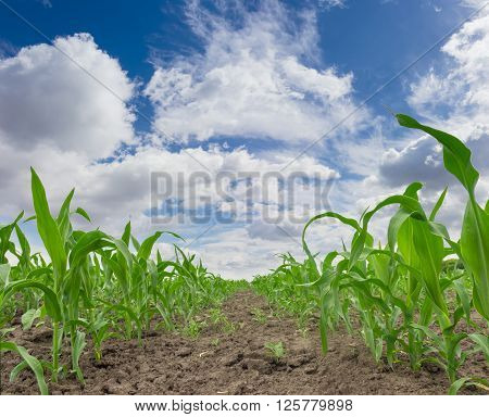 Young stalks and leaves of maize on a corn field against the sky with clouds closeup in a spring day ** Note: Visible grain at 100%, best at smaller sizes