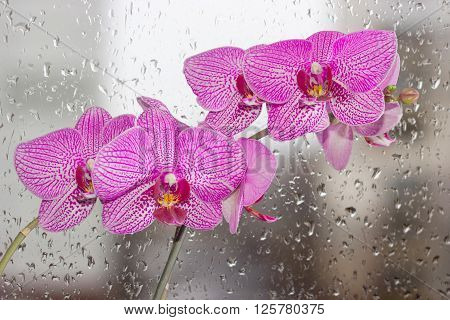 Two stems with purple phalaenopsis orchid flowers on a background window with rain drops