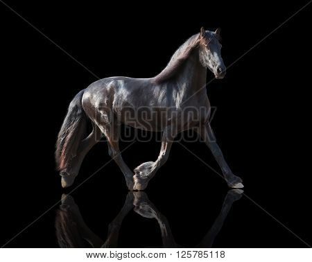 isolate of the black Frisian horse runs on a black background