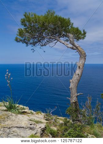 seaside pine tree bent by wind and storm
