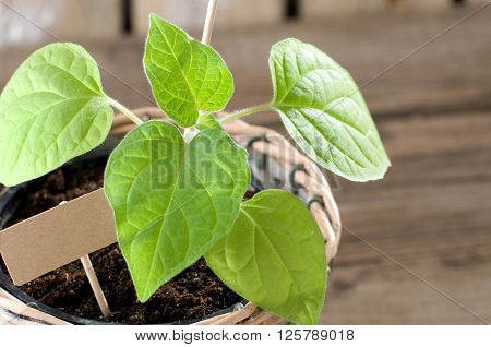 Physalis seedling with cardboard and copy space
