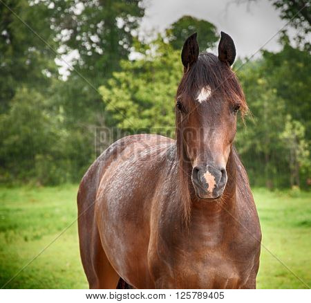 Arabian horse in soft summer rain, looking at the viewer, with a slightly deepening filter