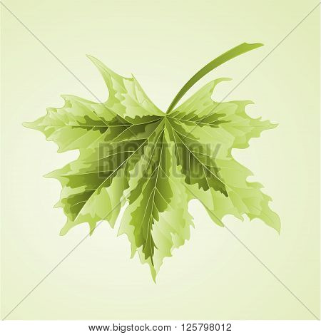 Maple leaf acer platanoides Drummondii vector illustration