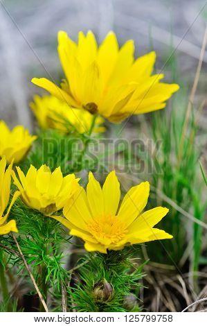 Yellow flowers of adonis (Adonis vernalis). Close up