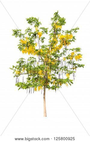 Golden shower or Cassia fistula isolated on white