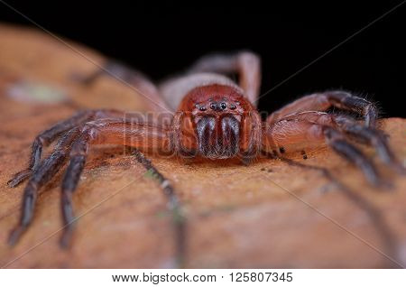 close up shot of a Huntsman spider (Thelcticopis sp.)