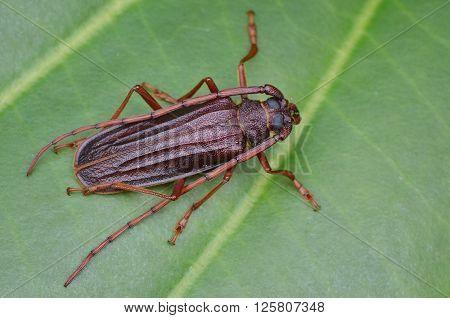 Longhorn beetle resting on a green leaf