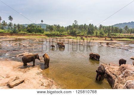 Pinnawala elephants bathing in elephant orphanage, sunny day in Sri Lanka