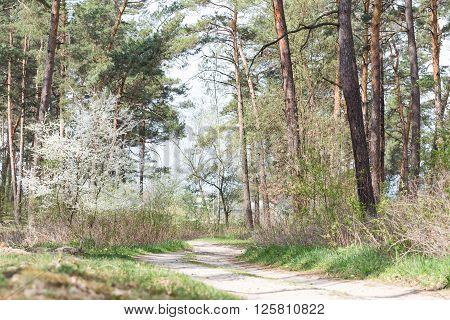 Forest landscape in the spring morning. Wild fruit tree blooms in the forest near the road.