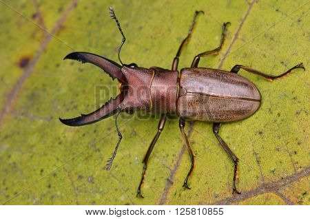 close up shot of a Stag Beetle (Cyclommatus chewi)