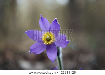 Tender First Spring March Flowers Lilac Blue Pasque-flower,