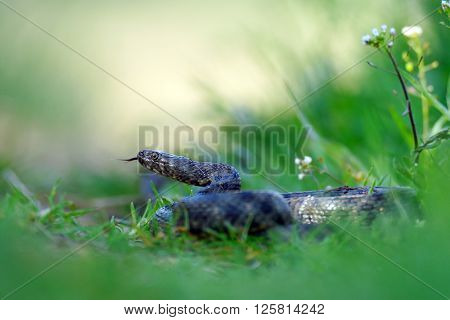 Dice snake (Natrix tessellata) in natural habitat