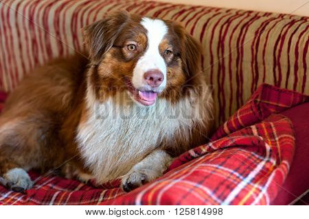 Beautiful Australian Shepherd on the red couch