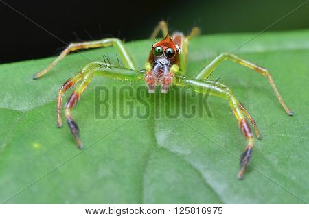 a green colour jumping spider, Epeus sp.