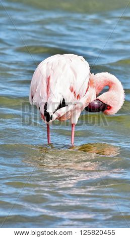 Lesser Flamingo feeding early in the morning