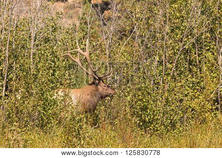 a big bull elk during the fall rut