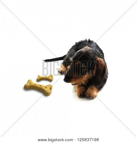 Dog with treat on white