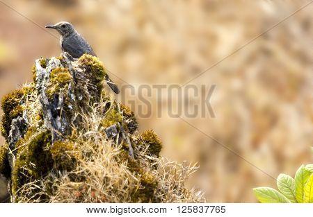 Blue rock thrush bird perching on a rock.