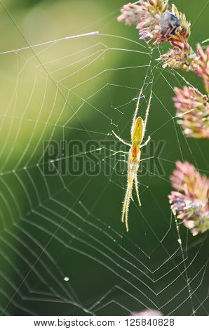 Green spider climbing on his cobweb built on the flower. ** Note: Shallow depth of field