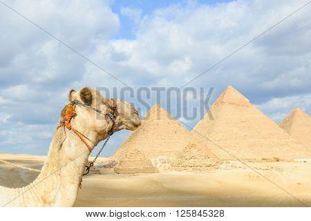 Camel and Giza Pyramids - Cairo, Egypt