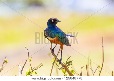 Beautilful and colorful Superb Starling bird. Shot in the Ngorongoro crater Tanzania, Africa.