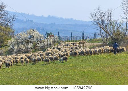 Sheep grazing in the meadow, Tuscany, Italy