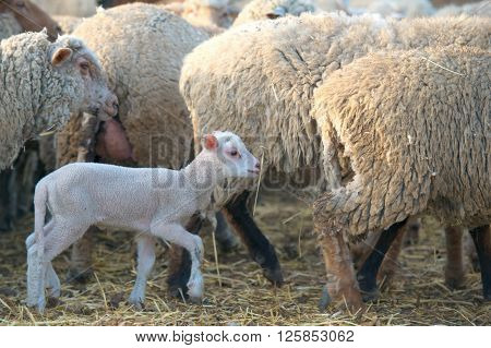 white suffolk lamb a few days old standing near sheeps