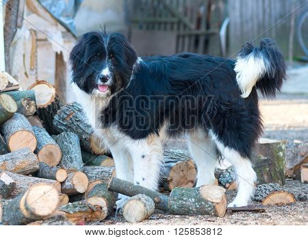 portrait of romanian shepherd dog image taken in the farm