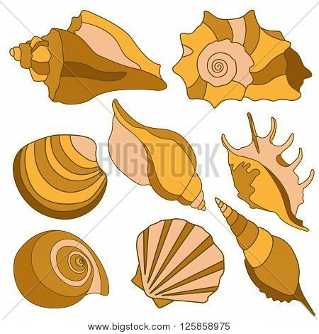 Vector sea shells - scallop, shell, conch, mollusk. Isolated illustration on white