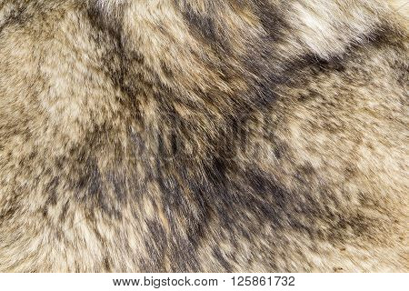 the background texture of the fur of a wild Wolf