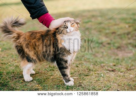 Woman's hand stroking a funny cat standing outdoor on grass, copy space