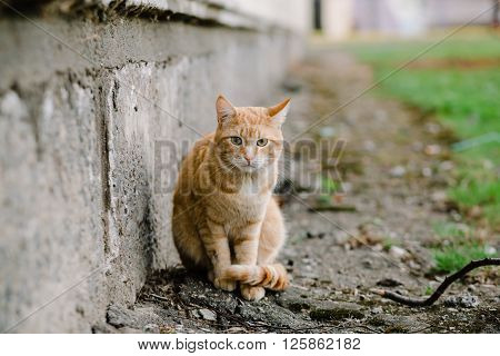 Beautiful red-headed cat sitting at the house and looking at camera, copy space