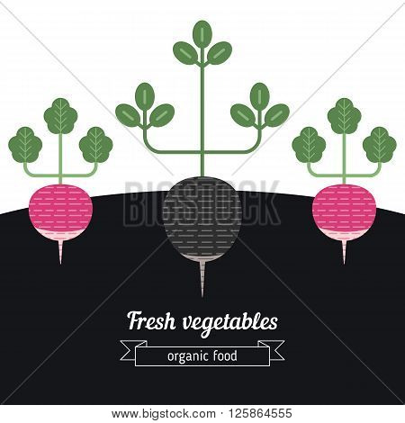Radish and black radish vegetables illustration. Vegetables garden background.