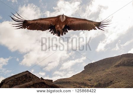 A big vulture on the fly under clouds