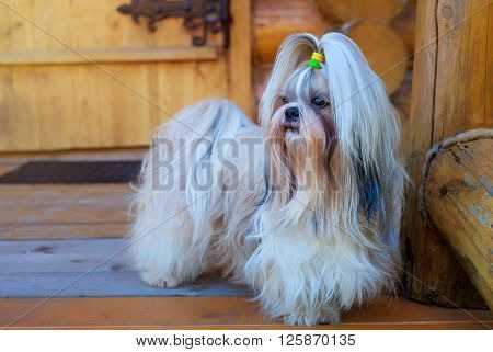 Shih tzu dog at house door