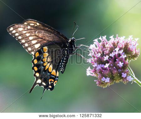 Black Swallowtail V