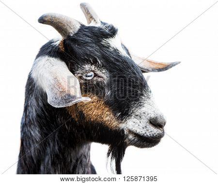 Miniature Nubian Goat Iii