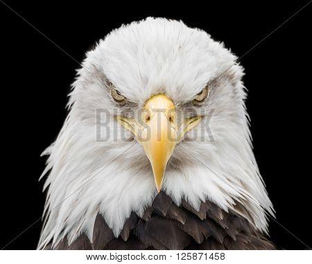Bald Eagle X