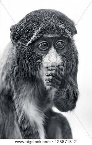 Baby De Brazza's Monkey