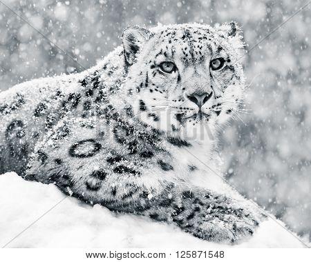 Snow Leopard In Snow Storm Iii