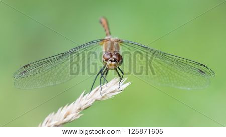 White-faced Meadowhawk V