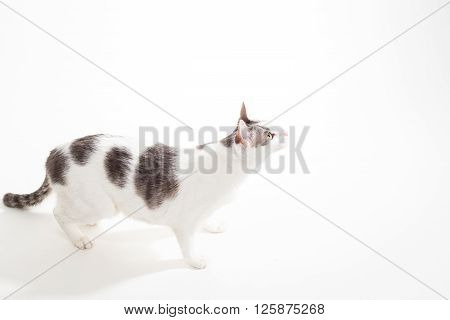 Curious Gray and White Short-Hair Domestic Cat on White