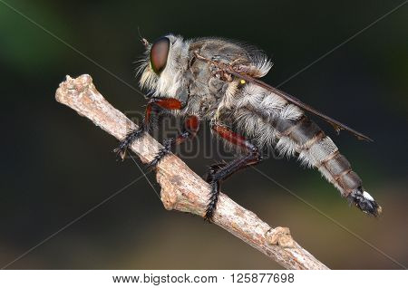 a giant robber fly waiting to strike