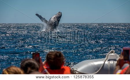 A Humpback Whale breaches off the coast of Mexico.