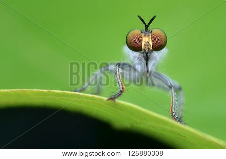 Robber Fly waiting to strike on a green leaf