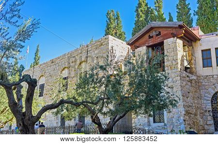 The olive trees of Gethsemane Garden with the belfry of the Church of All Nations on the background Jerusalem Israel.