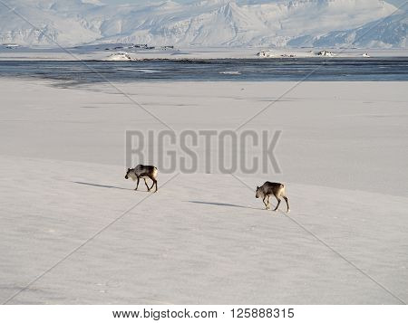 Two deer traveling through the snow field ** Note: Soft Focus at 100%, best at smaller sizes